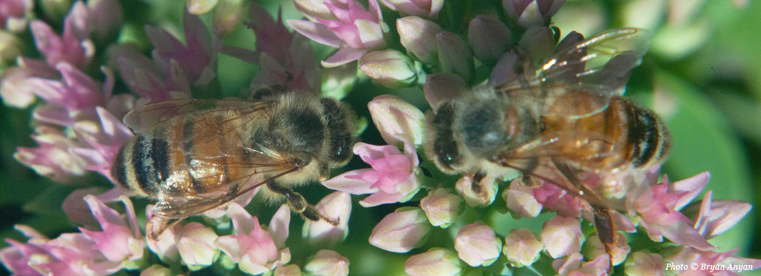 Lovely Macro shot of 2 bees on flowers. Photo © Bryan Anyan