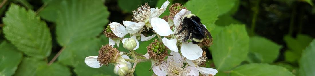 Bumble bee on wild blackberry flowers